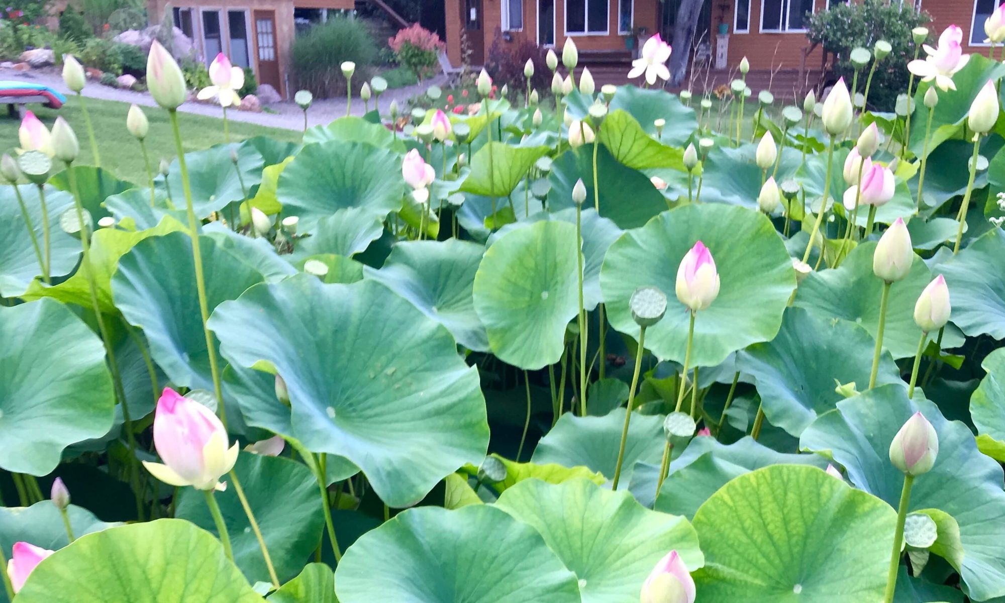 Ithaca Zen Center lotus blooming looking toward house